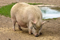 Pig on farm Royalty Free Stock Photos