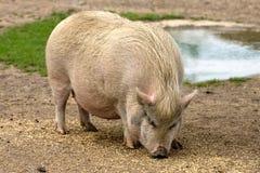 Pig on farm Royalty Free Stock Photos
