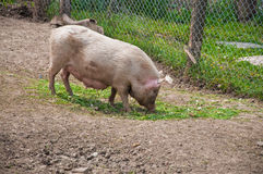 Pig on farm Royalty Free Stock Photo