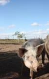 Pig at a farm Royalty Free Stock Images