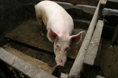 Pig in a farm Royalty Free Stock Photography