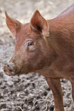 Pig on a farm Royalty Free Stock Images