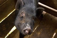Pig on farm Stock Images