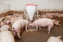 Free Pig Farm Stock Images - 30010014