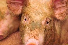 Pig Farm. A female pig at a pig farm Royalty Free Stock Image