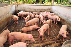 Pig Farm Royalty Free Stock Photo