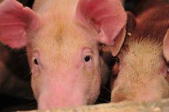 Pig Farm Royalty Free Stock Image
