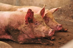 Pig Farm. Female pigs in a cage at a pig farm Stock Image