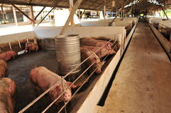 Pig Farm Royalty Free Stock Photography
