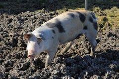 The pig Stock Photos