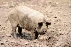 Pig on the farm. You can see a pig (Hungarian kind mangalica Stock Images