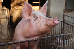 Pig in farm. Pig flu  on farm, dirty pork face Stock Images