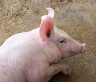 Pig farm Stock Images