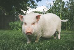 Pig Farm Animal in Field Royalty Free Stock Photography