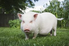 Pig Farm Animal in Field Stock Photography