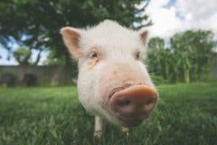 Pig Farm Animal in Field Royalty Free Stock Photos