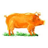 Pig, farm animal on green grass isolated Royalty Free Stock Photography