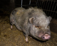 Pig in the farm animals Stock Photography