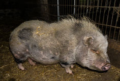 Pig in the farm animals Stock Photos