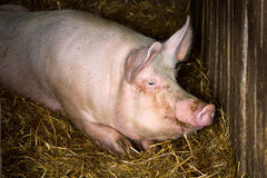 Pig in farm Royalty Free Stock Images