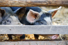 pig in a farm Royalty Free Stock Image