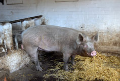 Pig in a farm Stock Photos