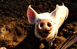 Pig on the farm Stock Photography