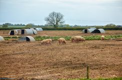 The pig farm in Devon. England. The view of the pigs near the pig ark on the outdoor pig unit in Devon. England royalty free stock photos