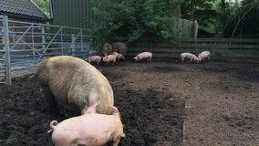 Pig farm. Pig is digging in the mud. Pigs outdoors in dirty farm field. Concept growing organic food  20