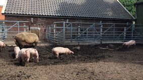 Pig farm. Pig is digging in the mud. Pigs outdoors in dirty farm field. Concept growing organic food 24