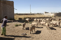 Pig farm, Ethiopia Royalty Free Stock Photography