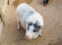 Pig in farm Royalty Free Stock Photos