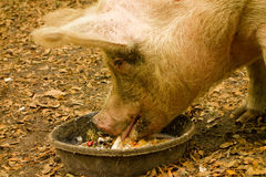 A pig at a farm in florida Stock Photo