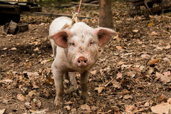 Pig farm Royalty Free Stock Images