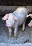 Pig in a farm Stock Image