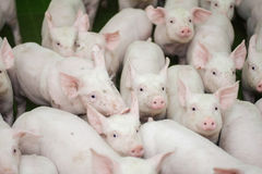 Pig farm. Little piglets. Pig farming is the raising and breeding of domestic pigs. Royalty Free Stock Photo