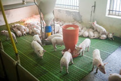 Pig farm. Little piglets. Pig farming is the raising and breeding of domestic pigs. Royalty Free Stock Images
