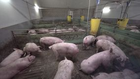 Pig Farm with Many Pigs. Intensively farmed pigs standing in a barn. Animal production concept stock video