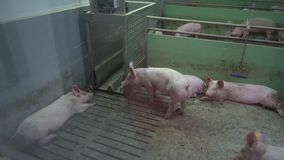 Pig Farm with Many Pigs. Intensively farmed pigs standing in a barn. Animal production concept stock video footage