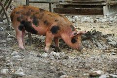 Pig farm organic Stock Image