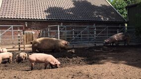 Pig farm. Pig is digging in the mud. Pigs outdoors in dirty farm field. Concept growing organic food 26