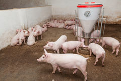 Pig farm. Pigs during feeding. See my other works in portfolio Royalty Free Stock Photography