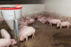 Pig farm Stock Photos