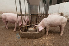 Pig farm. Pigs during feeding. See my other works in portfolio Royalty Free Stock Photos