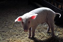 Pig farm. Pigs and piglets at the agricultural farm Royalty Free Stock Image