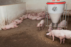 Pig farm. Ready for slaughtering pigs on the farm Stock Image