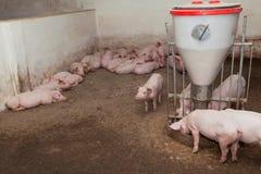 Pig farm Stock Image