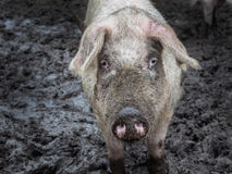 Pig on a farm running outdoors in dirt Stock Photography