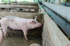 Pig on a farm. Royalty Free Stock Photography