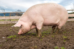 Pig on a farm Stock Image